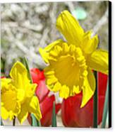 Daffodil Flowers Art Prints Spring Daffodils Red Tulip Garden Canvas Print by Baslee Troutman