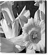 Daffodil Monochrome Study Canvas Print by Chris Berry