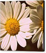 Daisies Canvas Print by Chevy Fleet