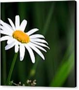 Daisy - Bellis Perennis Canvas Print by Bob Orsillo