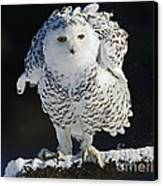 Dance Of Glory - Snowy Owl Canvas Print by Inspired Nature Photography Fine Art Photography