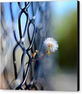 Dandelion Wish Canvas Print by Laura Fasulo