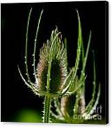 Detail Of Thistle Canvas Print by Josep Maria Penalver