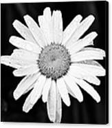 Dew Drop Daisy Canvas Print by Adam Romanowicz
