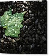 Dew On Leaf Canvas Print by Scott Norris