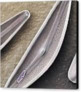 Diatom Frustules (sem) Canvas Print by Science Photo Library