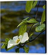 Dogwood On The Merced Canvas Print by Bill Gallagher