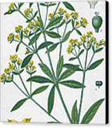 Dyers Madder Canvas Print by French School