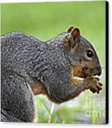 Eastern Fox Squirrel Canvas Print by Brandon Alms
