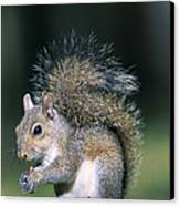 Eastern Gray Squirrel Canvas Print by Millard H. Sharp