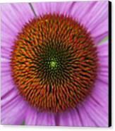 Echinacea Purpurea Rubinglow Flowers Canvas Print by Tim Gainey