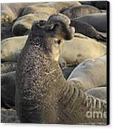 Elephant Seals Canvas Print by Bob Christopher