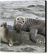 Elephant Seals Mating Canvas Print by Mark Newman