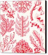 Examples Of Florideae From Kunstformen Der Natur Canvas Print by Ernst Haeckel