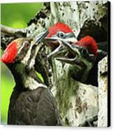 Female Pileated Woodpecker At Nest Canvas Print by Mircea Costina Photography