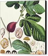 Fig Engraved By Johann Jakob Haid  Canvas Print by German School