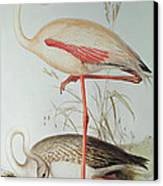 Flamingo Canvas Print by Edward Lear