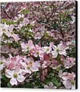 Flourishing Pink Magnolias Canvas Print by Deborah  Montana