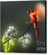 Flying Cardinal Landing On Branch Canvas Print by Dan Friend