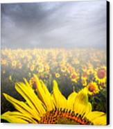 Foggy Field Of Sunflowers Canvas Print by Bob Orsillo