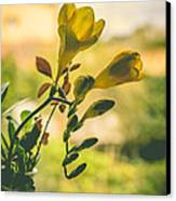 Freesia Canvas Print by Marco Oliveira
