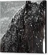 Friesian Snow Canvas Print by Fran J Scott