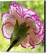 Frilly Carnation Canvas Print by Gill Billington