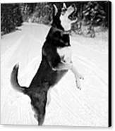 Frolicking In The Snow - Black And White Canvas Print by Carol Groenen