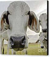 Funny Cows Canvas Print by Cindy Bryant
