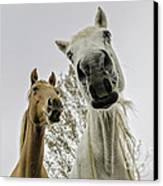Funny Horses Canvas Print by Cindy Bryant