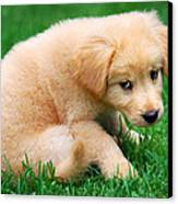 Fuzzy Golden Puppy Canvas Print by Christina Rollo