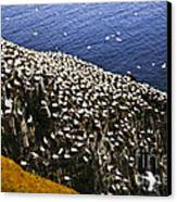 Gannets At Cape St. Mary's Ecological Bird Sanctuary Canvas Print by Elena Elisseeva
