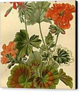 Geraniums Canvas Print by Philip Ralley