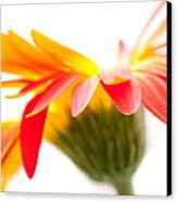 Gerbera Mix Crazy Flower - Orange Yellow Canvas Print by Natalie Kinnear