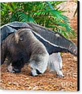 Giant Anteater Mother And Baby Canvas Print by Millard H. Sharp