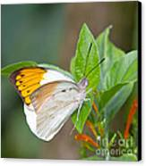 Giant Orange Tip Butterfly Canvas Print by Jane Rix