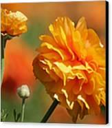 Giant Tecolote Ranunculus - Carlsbad Flower Fields Ca Canvas Print by Christine Till