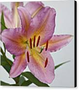 Girosa Lily Canvas Print by Sandy Keeton