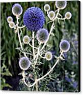 Globe Thistle Canvas Print by Rona Black