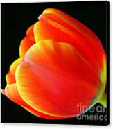 Glowing Tulip Canvas Print by Darren Fisher