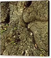 Gnarled Haitian Tree Trunk Canvas Print by Anna Lisa Yoder
