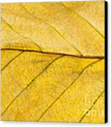 Golden Beech Leaf Canvas Print by Anne Gilbert