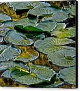Golden Lilly Pads Canvas Print by Frozen in Time Fine Art Photography
