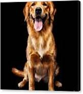 Golden Retriever On Black Background Canvas Print by Oleksiy Maksymenko
