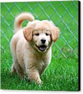 Golden Retriever Puppy Canvas Print by Christina Rollo
