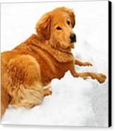 Golden Retriever Snowball Canvas Print by Christina Rollo