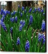Grape Hyacinths Canvas Print by Julie Dant