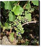 Grapevine. Burgundy. France. Europe Canvas Print by Bernard Jaubert