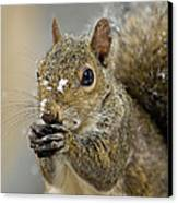Gray Squirrel - D008392  Canvas Print by Daniel Dempster