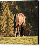 Grazing Horse At Sunset Canvas Print by Michelle Wrighton